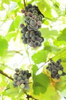 20120215232046-vino-uva.jpg